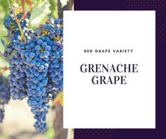 Nho Grenache Grape