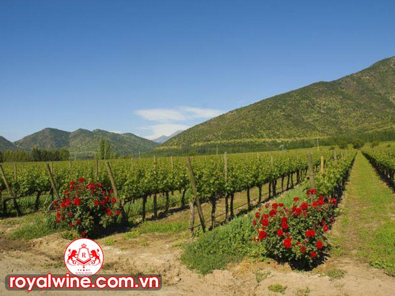 Các Vùng Sản Xuất Rượu Vang Chile Nổi Tiếng