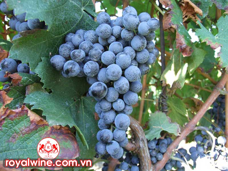 Có Thể Tìm Thấy Rượu Vang Nho Cabernet Franc Ở Đất Nước Nào