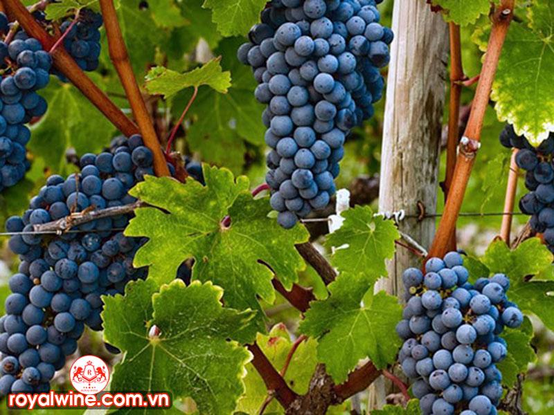 Công Dụng Và Mùi Vị Của Rượu Vang Negroamaro