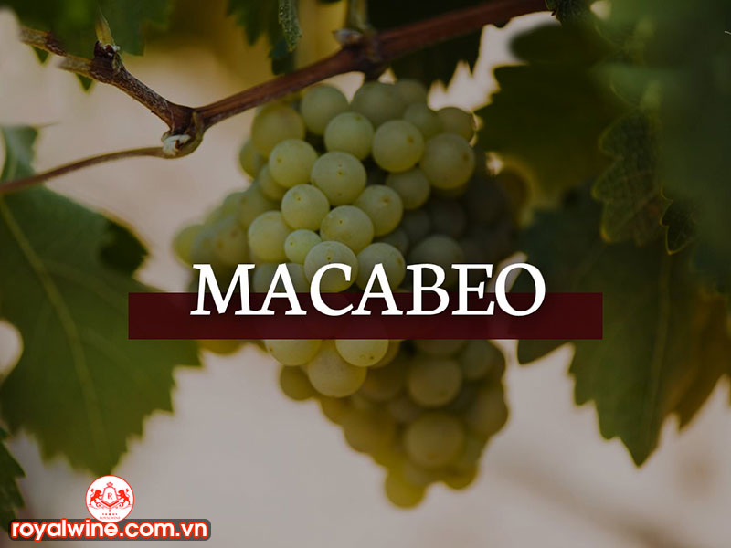 Đặc Điểm Của Rượu Vang Nho Macabeo