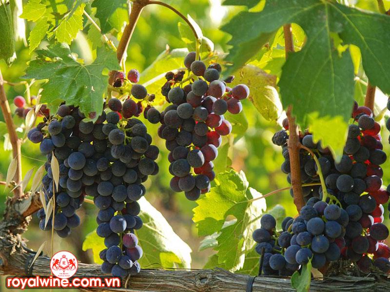 Đặc Tính Và Hương Vị Của Rượu Vang Giống Nho Montepulciano
