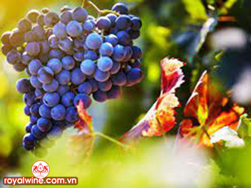Hương Vị Chính Của Rượu Vang Syrah/Shiraz