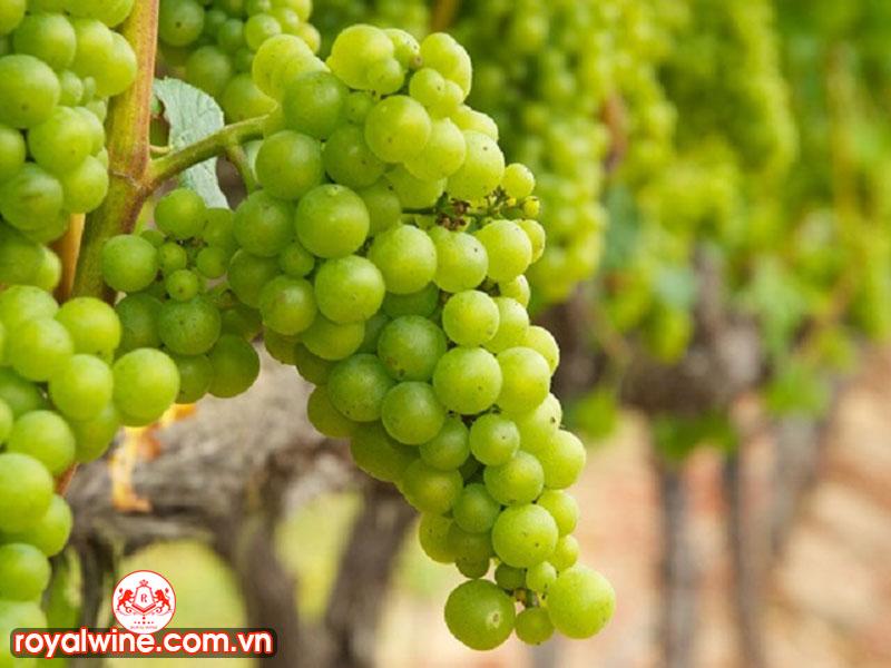 Hương Vị Chính Của Rượu Vang Ugni Blanc