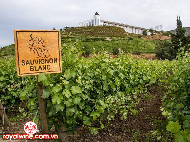 Hương Vị Đặc Biệt Của Giống Nho Sauvignon Blanc