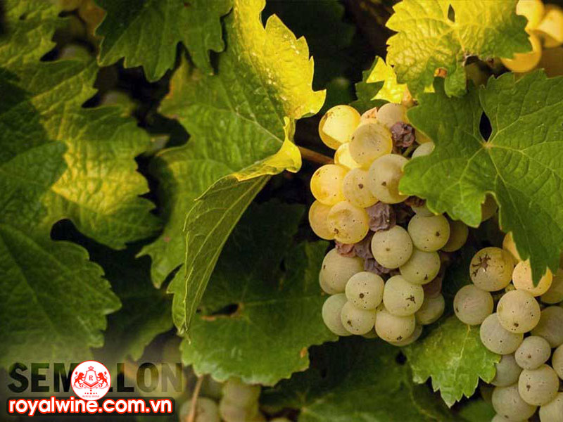 Hương Vị Đặc Trưng Của Rượu Vang Làm TừGiống Nho Semillon