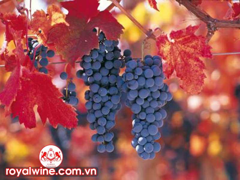 Mùi Vị Chính Phong Cách Của Rượu Vang Carmenere