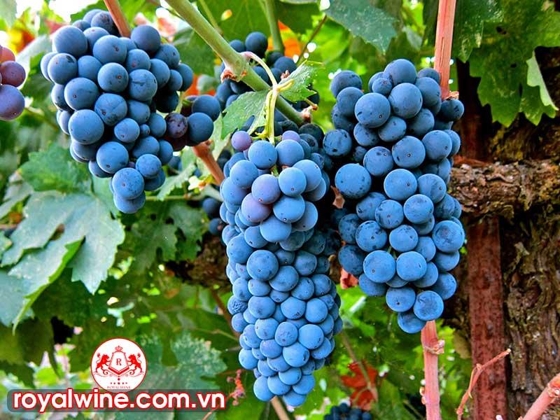 Mùi Vị Đặc Trưng Của Rượu Vang Cabernet Sauvignon