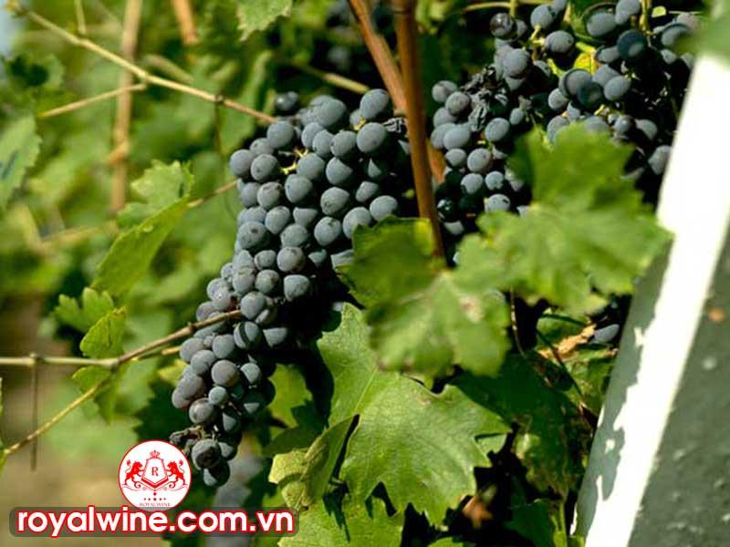 Những Dòng Rượu Vang Blend Phổ Biến Nhất