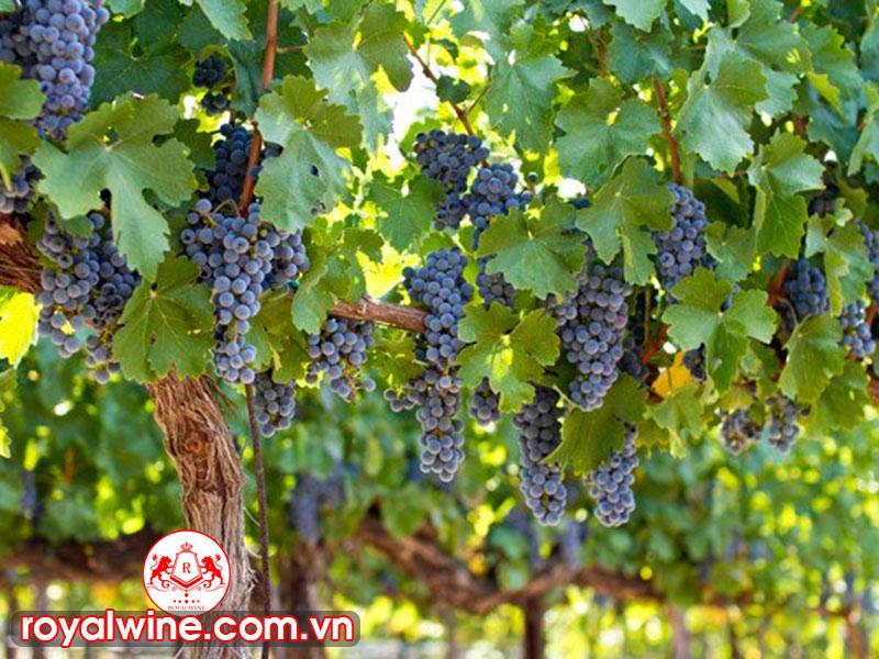 Những Giống Nho Làm Rượu Vang Argentina Những Giống Nho Làm Rượu Vang Argentina