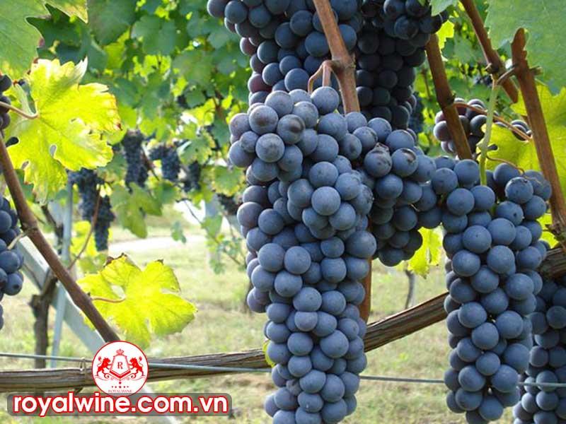 Những Món Ăn Có Thế Sử Dụng Phù Hợp Với Những Chai Rượu Vang Barbera